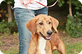 Golden Retriever Mix Puppy for adoption in Lancaster, Ohio - Sam