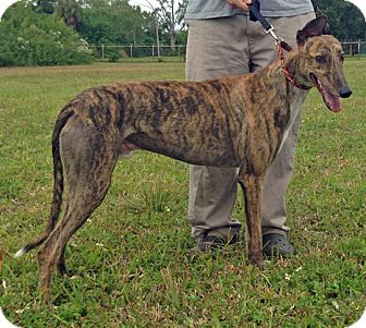 Greyhound Dog for adoption in Tampa, Florida - Nito