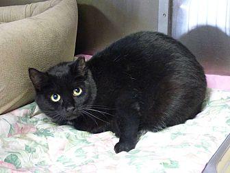 Domestic Shorthair Cat for adoption in Lunenburg, Massachusetts - Dakota