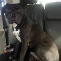 Pit Bull Terrier Dog for adoption in Columbus, Indiana - cupid