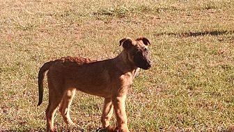 Belgian Malinois Puppy for adoption in Wattertown, Massachusetts - Aeron