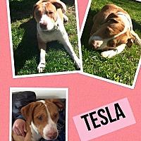 Hound (Unknown Type)/Pit Bull Terrier Mix Dog for adoption in ST LOUIS, Missouri - Tesla