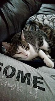 Domestic Shorthair Cat for adoption in Trexlertown, Pennsylvania - 2 Cats - Need Foster*