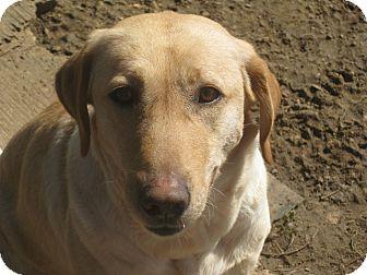 Labrador Retriever Mix Dog for adoption in Derry, New Hampshire - Danielle