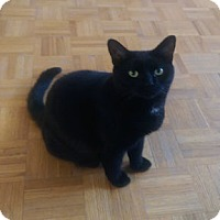 Adopt A Pet :: Valentine - Verdun, QC