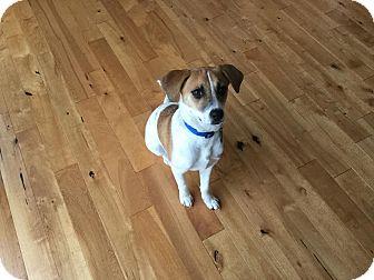 Beagle/Terrier (Unknown Type, Medium) Mix Puppy for adoption in Seattle, Washington - Luna