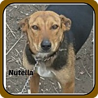 Adopt A Pet :: NUTELLA - Malvern, AR