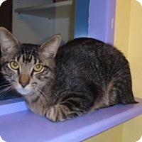 Manx Cat for adoption in Evergreen, Colorado - Shortstop