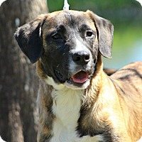 Adopt A Pet :: Beethoven - SOUTHINGTON, CT