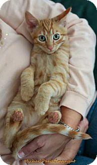 Domestic Mediumhair Kitten for adoption in Davis, California - Rufus