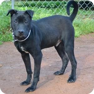 Labrador Retriever/Shar Pei Mix Dog for adoption in Athens, Georgia - Cole