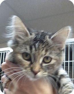 Domestic Mediumhair Kitten for adoption in St. Petersburg, Florida - Juicy Lucy