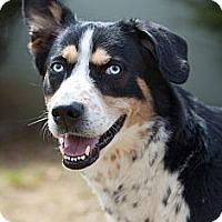 Adopt A Pet :: Adonis - Rockaway, NJ