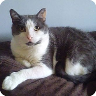 Domestic Shorthair Cat for adoption in Verdun, Quebec - Henri