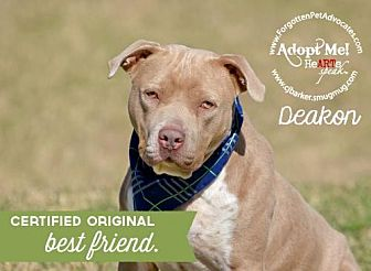 Shar Pei/Pit Bull Terrier Mix Dog for adoption in Pearland, Texas - Deakon