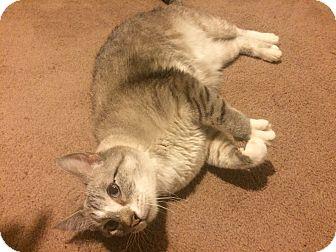 British Shorthair Cat for adoption in Flowery Branch, Georgia - Tuddies