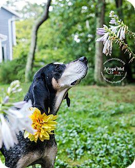 Bluetick Coonhound Mix Dog for adoption in Cincinnati, Ohio - Ladybird- WAIVED FEE