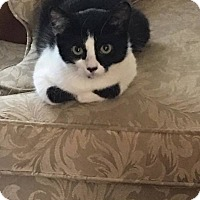 Domestic Shorthair Cat for adoption in Toms River, New Jersey - Echo