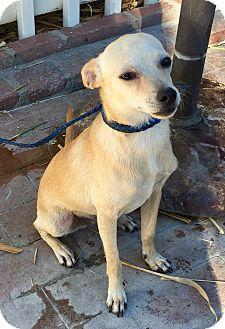 Rat Terrier/Whippet Mix Dog for adoption in Santa Ana, California - Skipper aka Mr. Wiggles (BH)