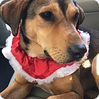 Adopt A Pet :: Ivy - Greenville, SC