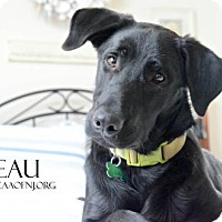 Adopt A Pet :: Beau - Willingboro, NJ