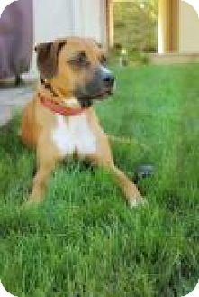 Boxer/Bloodhound Mix Dog for adoption in New Albany, Ohio - Finn
