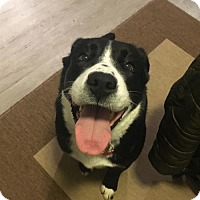 Adopt A Pet :: Lainie - Seattle, WA