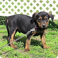Adopt A Pet :: DUGIE - Hartford, CT