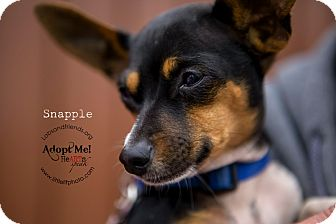 Fox Terrier (Toy)/Rat Terrier Mix Puppy for adoption in Burbank, California - Snapple