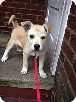 Shepherd (Unknown Type)/Labrador Retriever Mix Puppy for adoption in Youngstown, Ohio - LuLu ~ Adoption Pending