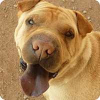Shar Pei Dog for adoption in Las Cruces, New Mexico - Dex