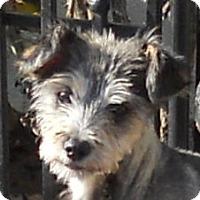 Adopt A Pet :: Baby Schnitzel - Oakley, CA