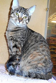 Domestic Shorthair Cat for adoption in Chattanooga, Tennessee - Tess