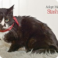 Domestic Shorthair Cat for adoption in West Des Moines, Iowa - Stash