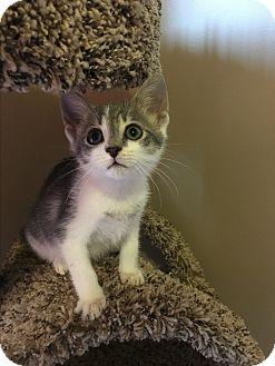 Domestic Shorthair Kitten for adoption in Mount Laurel, New Jersey - Hampton