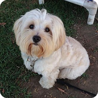 Lhasa Apso Mix Dog for adoption in Los Angeles, California - DUDLEY
