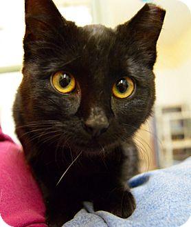 Domestic Shorthair Cat for adoption in Buena Vista, Colorado - Luna