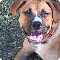 Boxer/Labrador Retriever Mix Puppy for adoption in Colmar, Pennsylvania - Dory