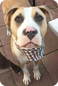 American Staffordshire Terrier Mix Dog for adoption in San Diego, California - Tobin