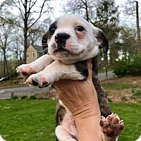 Adopt A Pet :: Archibald (RBF) - Spring Valley, NY