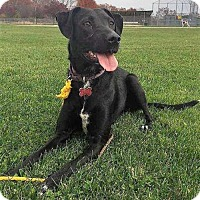 Labrador Retriever Mix Dog for adoption in Boston, Massachusetts - Beauty Labbie