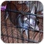 Photo 2 - Miniature Pinscher Puppy for adoption in Florissant, Missouri - Remington