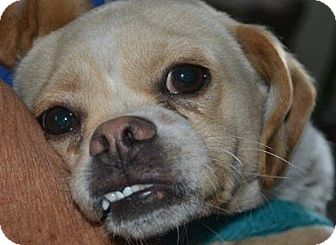 Chihuahua/Terrier (Unknown Type, Small) Mix Puppy for adoption in San Diego, California - Chatito