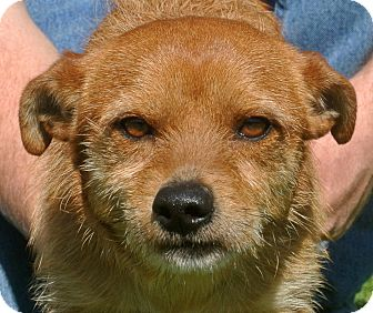 Terrier (Unknown Type, Small) Mix Dog for adoption in white settlment, Texas - Bean