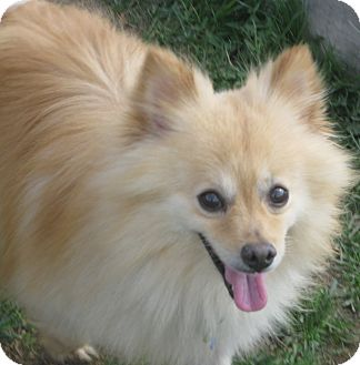 Pomeranian Dog for adoption in Prole, Iowa - Dunn