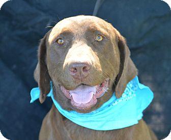 Labrador Retriever Mix Dog for adoption in Plano, Texas - Sawyer