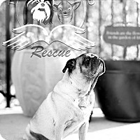 Pug Dog for adoption in Frederick, Maryland - Brimlee