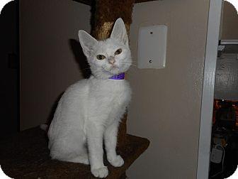 Domestic Shorthair Kitten for adoption in Northfield, Ohio - Maggie