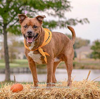 Retriever (Unknown Type)/Pit Bull Terrier Mix Dog for adoption in Columbus, Ohio - Ryan