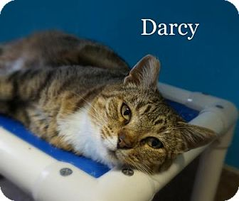 Domestic Shorthair Cat for adoption in West Des Moines, Iowa - Darcy